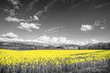 Rainer Maria - Oilseed Rape Fields Fotografická reprodukce