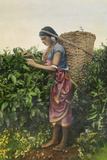 A Woman Plucks Tea to Sell at the Market Giclee Print by H.M. Herget