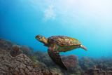 Underwater Shoot of a Sea Turtle (Chelonioidea) Swimming over Coral Reef Posters by Dudarev Mikhail