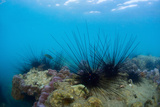 Underwater Shot of Sea Urchins on a Coral Reef in Tropical Sea Print by Dudarev Mikhail