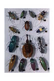 Collection of Various Beetles Lámina fotográfica por Wisherd, Edwin L.