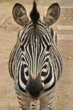 Zebra Photographic Print by  Xelissa