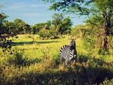 Zebra in Grass on Savanna, Africa. Safari in Serengeti, Tanzania Posters by PHOTOCREO Michal Bednarek