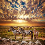 Zebras Herd on Savanna at Sunset, Africa. Safari in Serengeti, Tanzania Fotografisk tryk af Michal Bednarek