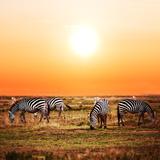 Zebras Herd on Savanna at Sunset, Africa. Safari in Serengeti, Tanzania Prints by PHOTOCREO Michal Bednarek