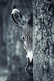 Zebra-Portrait Fotodruck von  prochasson