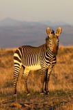 Mountain Zebra Photographic Print by  ZambeziShark