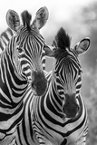 Zebra Mare and Foal Standing close Together in Bush for Safety Artistic Concersion Photographic Print by Alta Oosthuizen