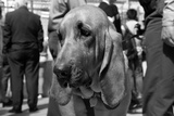 Bloodhound in NYPD K9 Unit Posters