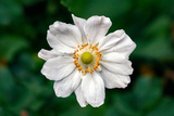 Single Daisy Photo