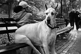 Great Dane in Central Park NYC B/W Photo