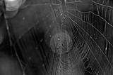 Closeup of Spider Web b/w Photo