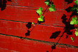 Ivy on Red Barn Prints