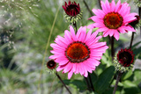 Pink Gerbera Daisies Photo
