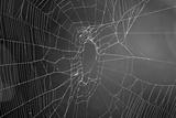 Spider Web b/w Photo