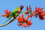 Rainbow Lorikeet Photographic Print by  ZambeziShark
