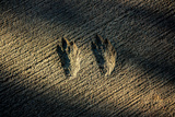 Bird Footprints in the Sand Posters
