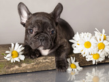 French Bulldog and Chamomile Photographic Print by  Lilun