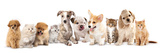 Group of Puppies and  Kitten of Different Breeds, Cat and Dog Photographic Print by  Lilun
