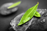 Black and White Zen Stones Submerged in Water with Color Accented Green Leaves Photographic Print by  elenathewise