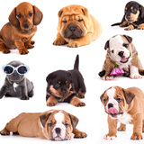 Puppies of Different Breeds, Dachshund, Shar Pei, Rottweiler, Bulldog, French Bulldog. Photographic Print by  Lilun