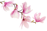 Beautiful Pink Spring Magnolia Flowers on a Tree Branch Isolated on White Photographic Print by  Acik