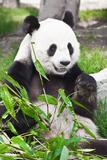 Giant Panda Photographic Print by  GoodOlga