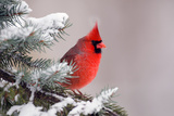 Northern Cardinal Perched in A Tree Posters by  EEI_Tony
