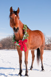 Bay Arabian Horse in Snow with a Christmas Wreath around His Neck - Concept of Gift Horse Prints by Sari ONeal