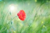 Poppy Flower, Outdoors Poster by  Yastremska