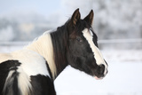 Young Paint Horse Mare in Winter Posters by  Zuzule