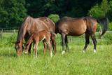 Mother, Father and Baby Horse Grazing in Field Fotografie-Druck von paul prescott