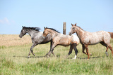 Nice Appaloosa Horses Running on Pasturage Poster by  Zuzule