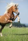 Nice Prancing Haflinger Stallion Photographic Print by  Zuzule