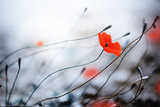 Abstract Poppies.Very Shallow DOF Posters by Subbotina Anna