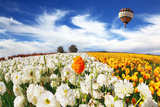 Huge Kibbutz Field of Multi-Colored Buttercups. Beautiful Spring Weather, Beautiful Big Balloon Fli Photographic Print by  kavram