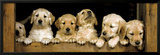 Golden Retriever Puppies Club Prints