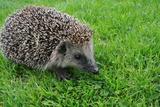 The Hedgehog Photographic Print by  XXsabrinaXX