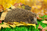 Hedgehog on Autumn Leaves in Forest Posters by  Yastremska