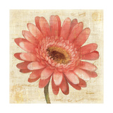 Blushing Gerbera on Cream Prints by Albena Hristova