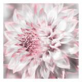 Dahlia Pinks 3 Prints by Suzanne Foschino