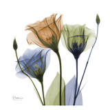 Gentian Buddies Prints by Albert Koetsier