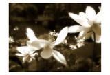 Lily Dream Prints by Noah Bay