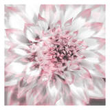 Dahlia Pinks 4 Posters by Suzanne Foschino