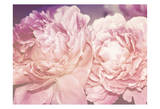 Pink Peony Prints by Ashley Davis