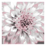 Dahlia Pinks 2 Posters by Suzanne Foschino