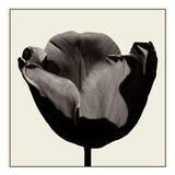Tulip Study 1 Prints by Noah Bay