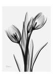 Tulips Print by Albert Koetsier