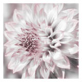 Dahlia Pinks 1 Prints by Suzanne Foschino