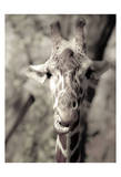 Giraffe What's Up Posters by Ashley Davis